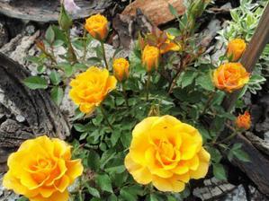 nízke ružičky-krásne v skalke
