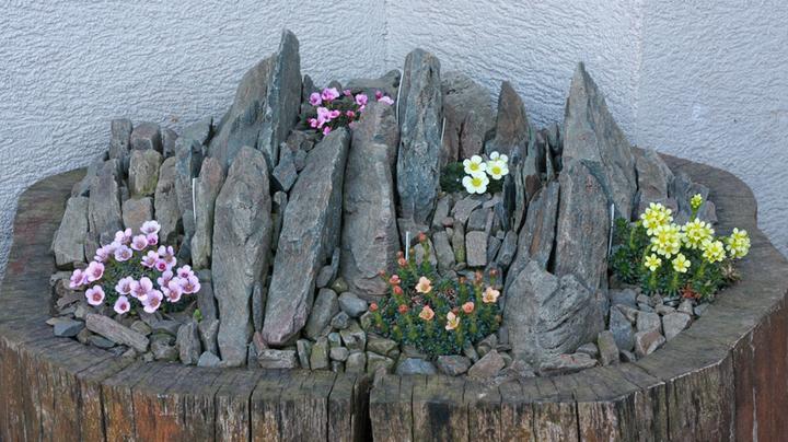 Skalky,skalničky a všeličo do záhrady - skalka v starom kmeni
