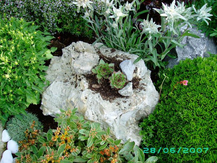 Skalky,skalničky a všeličo do záhrady - skalka-skalná ruža a plesnivec alpínsky