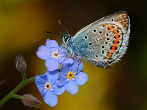 modráčik-motýle prilákajú do záhrady pekné kvety