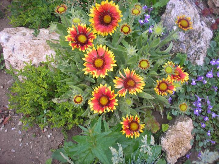 Skalky,skalničky a všeličo do záhrady - kokarda-kvitne celé leto