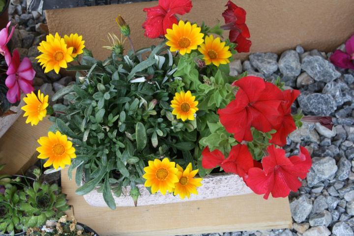 Skalky,skalničky a všeličo do záhrady - žlté gazánie
