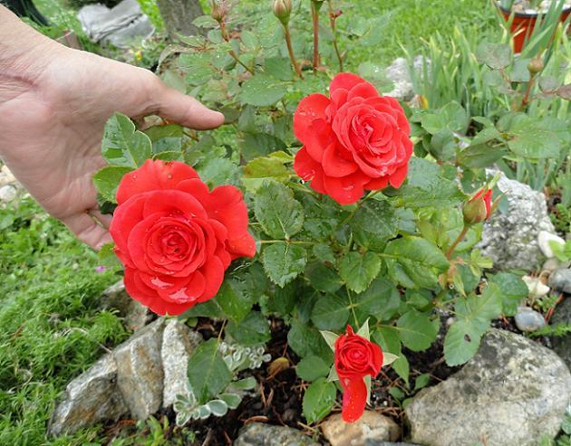 Skalky,skalničky a všeličo do záhrady - nízka ružička skalku krásne oživí