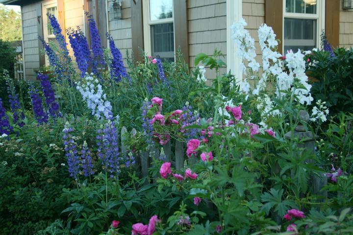 Krása divokej záhrady - modré stračonožky a ruže