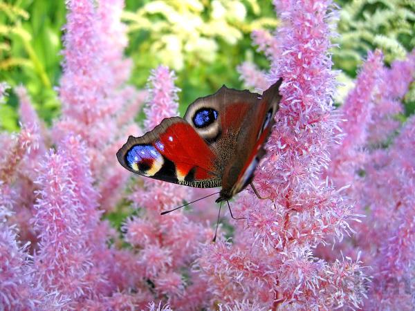 Krása divokej záhrady - kvety prilákajú aj takýchto krásavcov