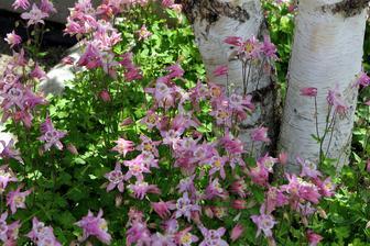 ružové orlíčky sú prekrásne pod brezami