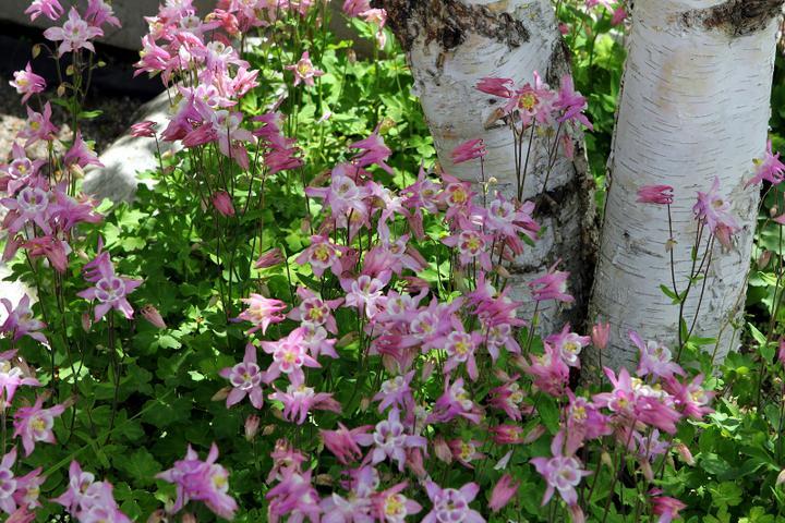 Krása divokej záhrady - ružové orlíčky sú prekrásne pod brezami
