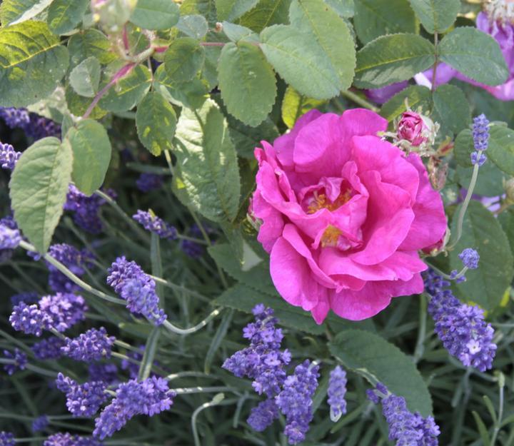 Krása divokej záhrady - levandula chráni ruže