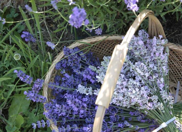 Krása divokej záhrady - bez levandule by to nebola záhrada