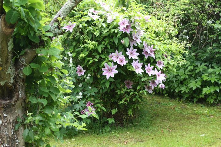 Krása divokej záhrady - plamienok má krásne kvety