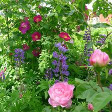 krásna kombinácia-ruže a modré lupiny