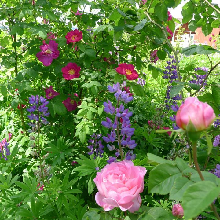 Krása divokej záhrady - krásna kombinácia-ruže a modré lupiny