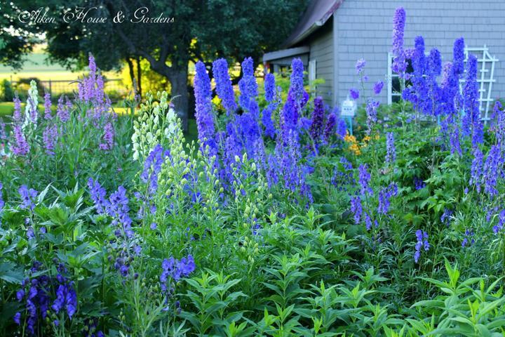 Krása divokej záhrady - modrá nádhera