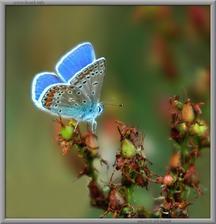 modráčiky milujú kvitnúce záhrady