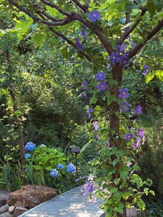 Krása divokej záhrady - plamienok sa ovinie aj na strome