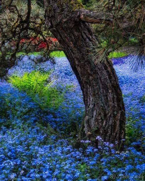 Krása divokej záhrady - ako vo sne-strom v mori nezábudiek
