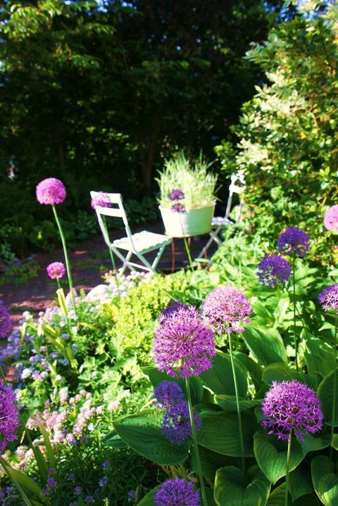 Krása divokej záhrady - okrasné cesnaky sú krásnou súčastou jarnej záhrady - vysádzame v septembri