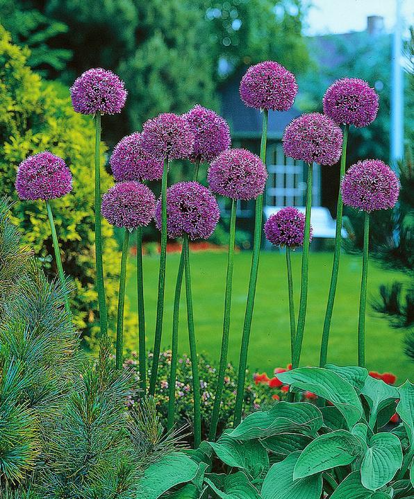 Krása divokej záhrady - okrasné cesnaky majú zaujímavý dizajn v trvalkových záhonoch