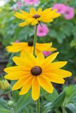 milujem rudbekie-sú ako malé slniečka,ktoré presvetlia záhradu