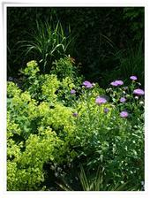 alchemilka je liečivá,ale aj krásna rastlinka,hlavne zrána,ked sa na jej listoch ligocú kvapky rosy