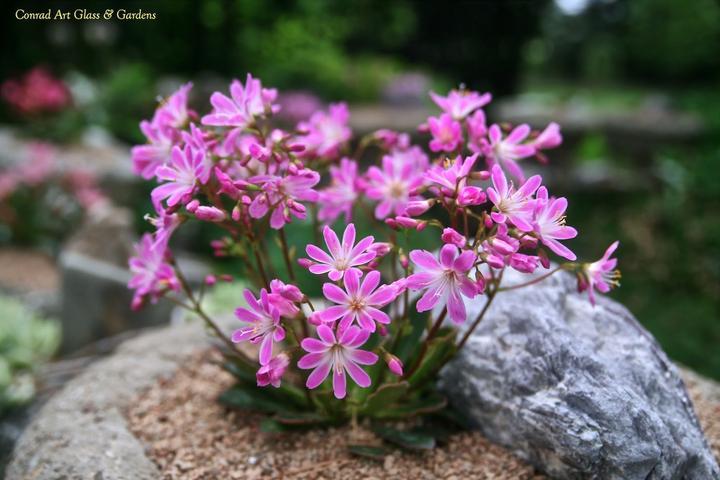 Skalky,skalničky a všeličo do záhrady - krásna skalnička-lewisia ružová