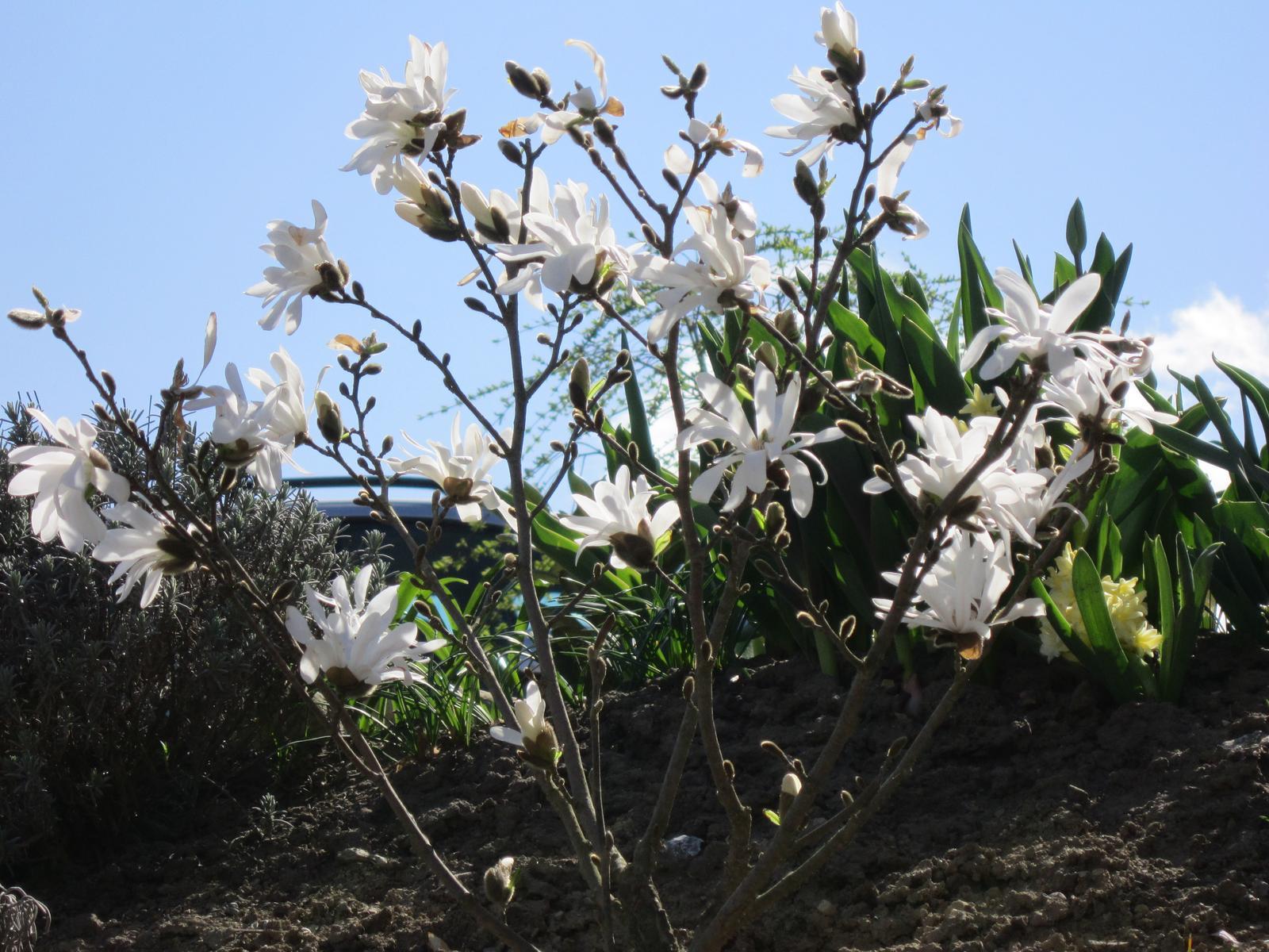 Moja záhrada...ako šiel čas - magnólia stellata