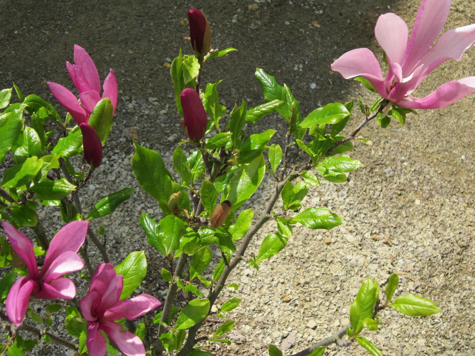Moja záhrada...ako šiel čas - magnólia susan
