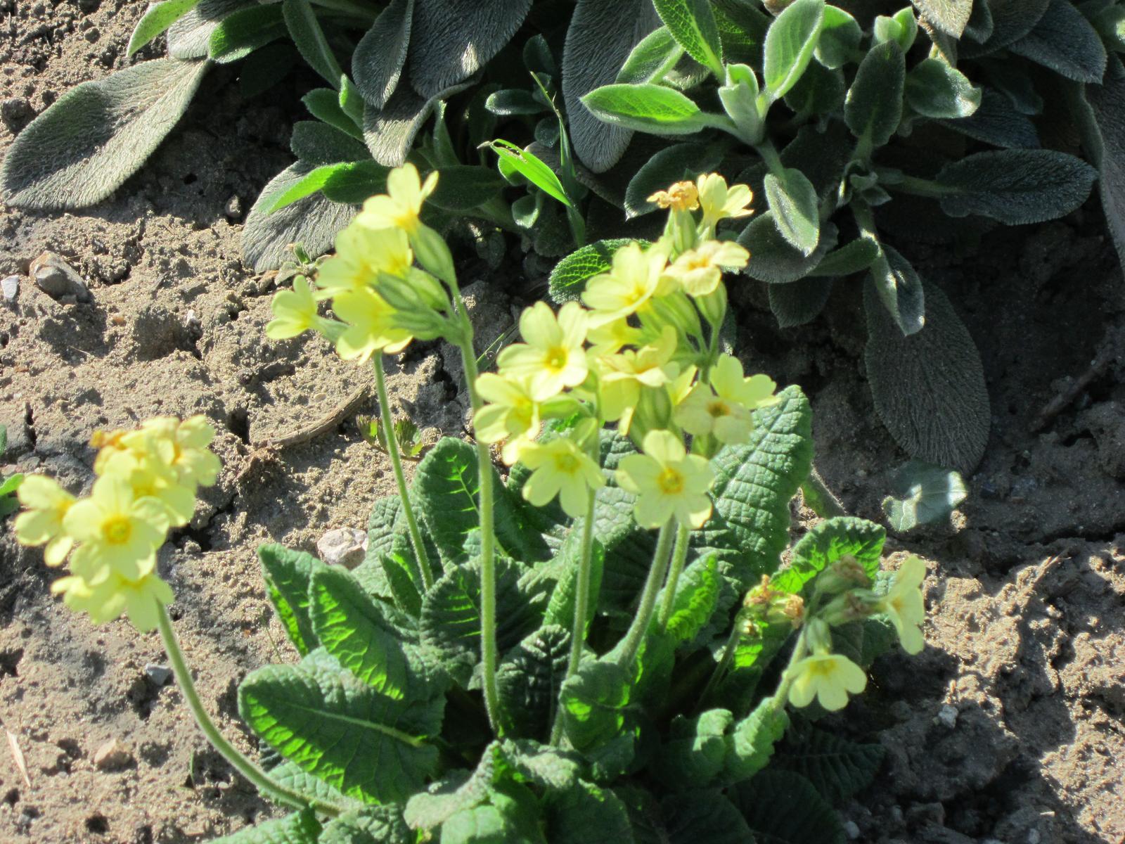Moja záhrada...ako šiel čas - prvosienka jarná prišla za mnou do záhrady...asi preto,že milujem ich vôňu...
