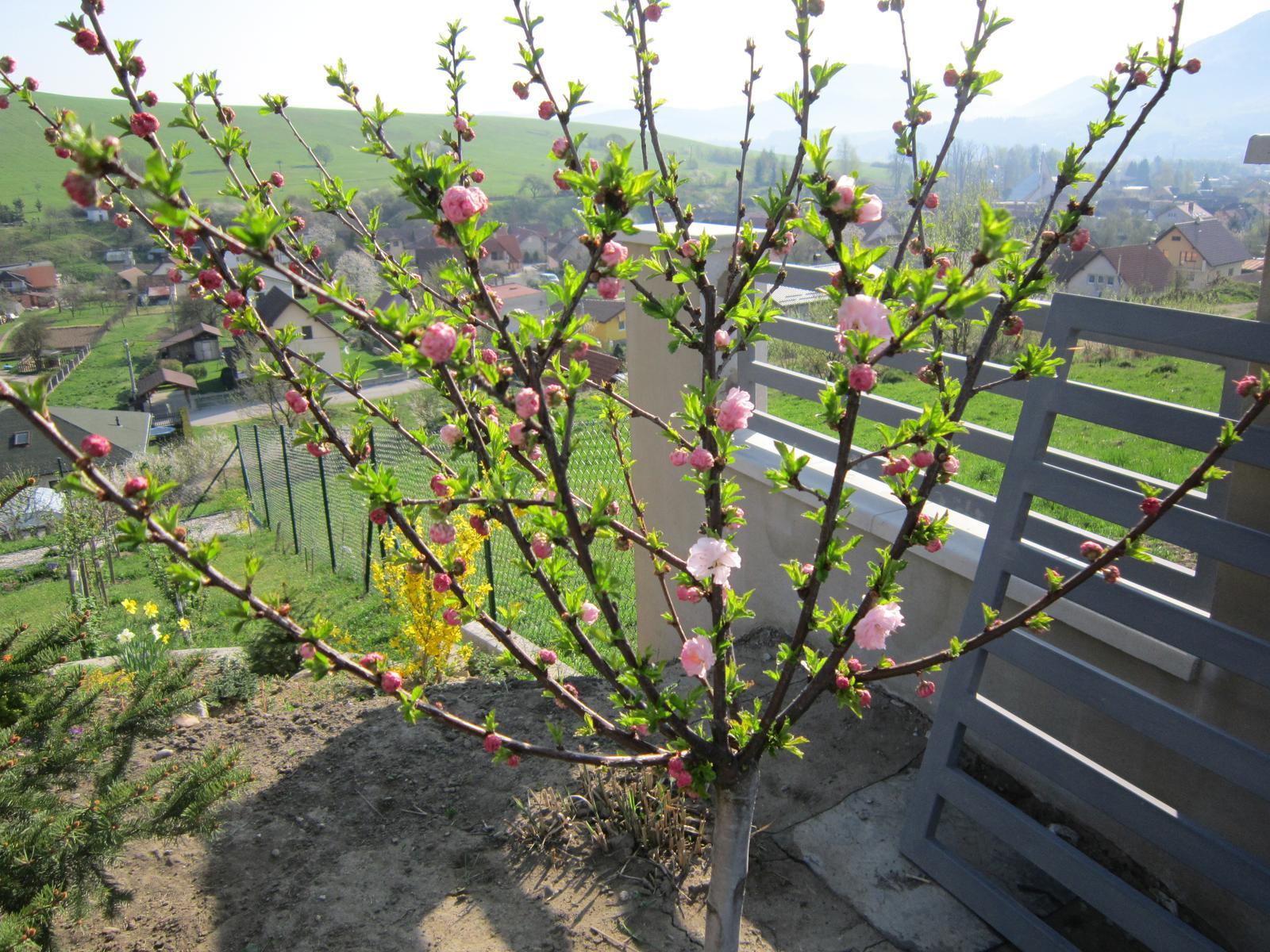 Moja záhrada...ako šiel čas - okrasná čerešňa sadená vlani...