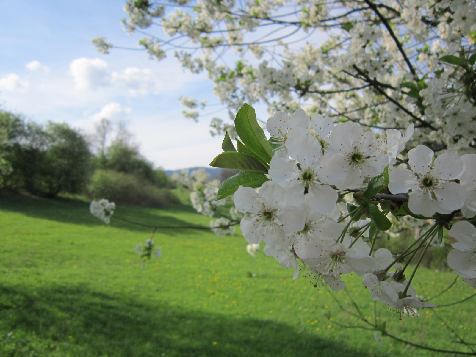 Moja záhrada...ako šiel čas - na 1.mája by nemal chýbať obrázok rozkvitnutej čerešne...