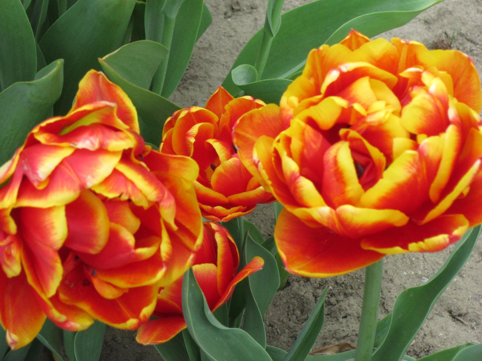 Moja záhrada...ako šiel čas - tulipány,ktoré mi pripomínajú ruže...