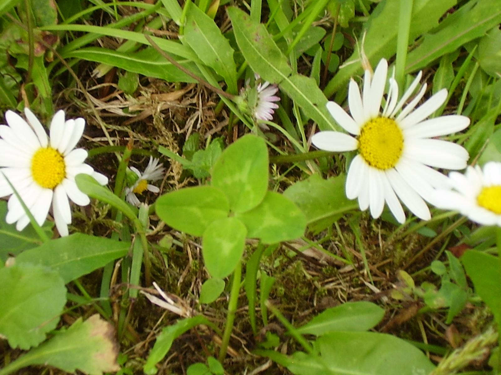 Moja záhrada...ako šiel čas - Štvorlístok pre šťastie...