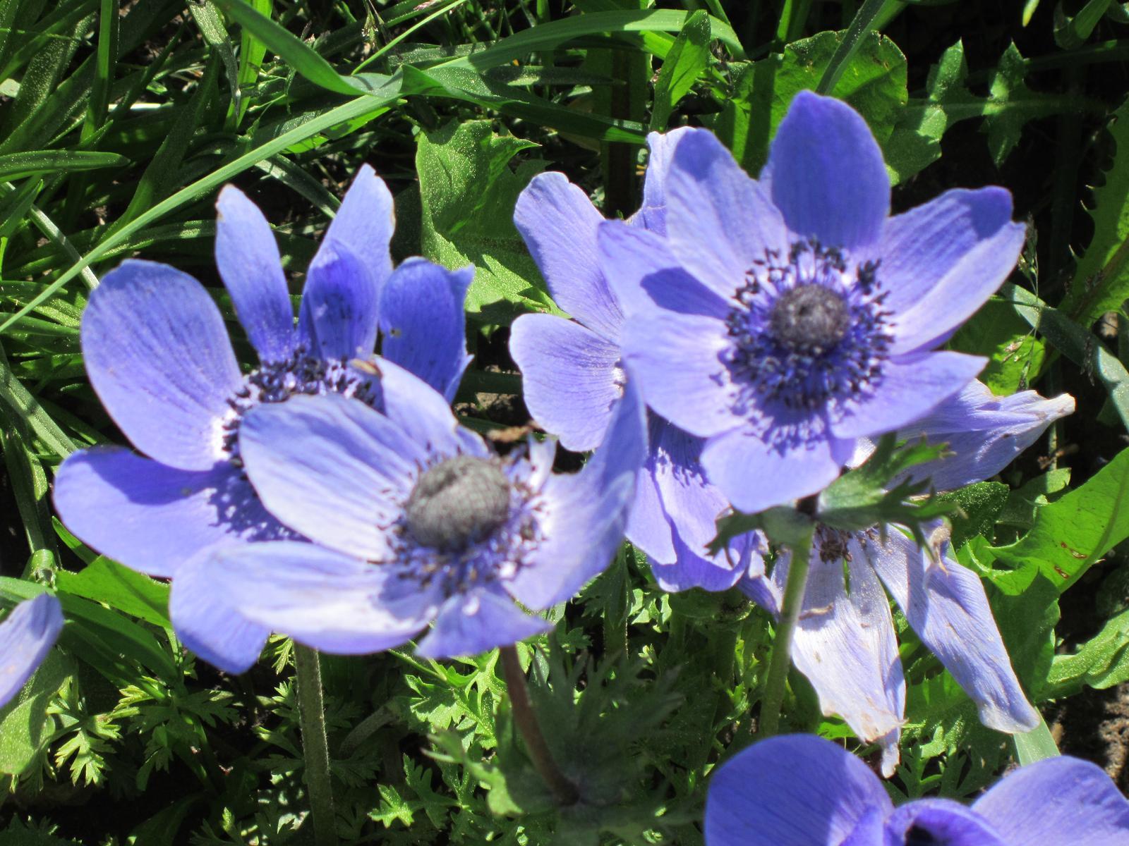 Moja záhrada...ako šiel čas - Anemonky sú vždy noblesné...