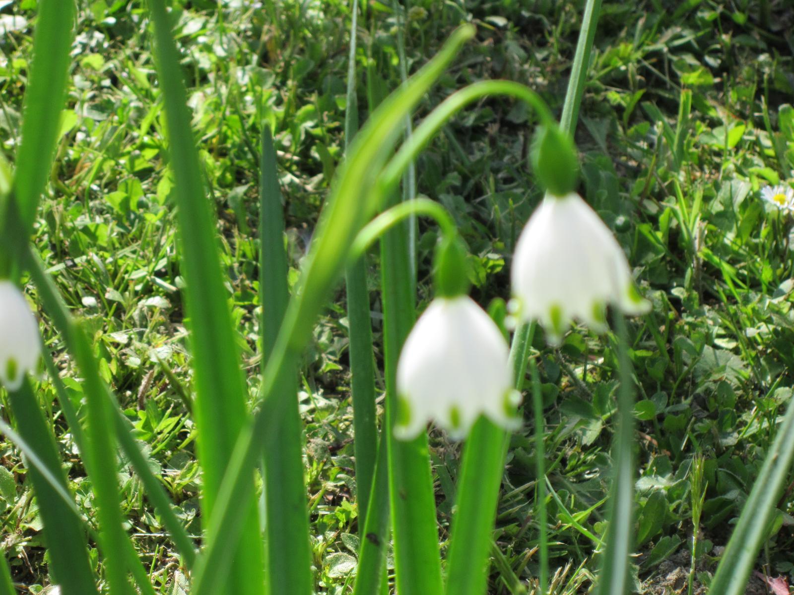 Moja záhrada...ako šiel čas - Ešte mi kvitnú bledule jarné...krásne zvončeky