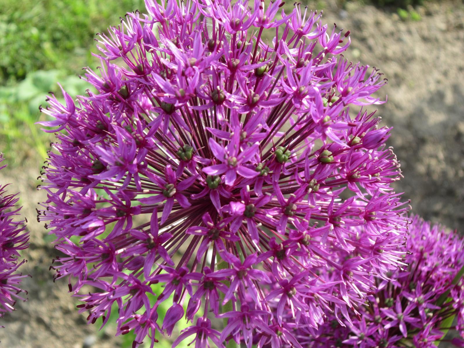 Moja záhrada...ako šiel čas - Milujem ozdobné cesnaky...sú krásne v každej podobe...