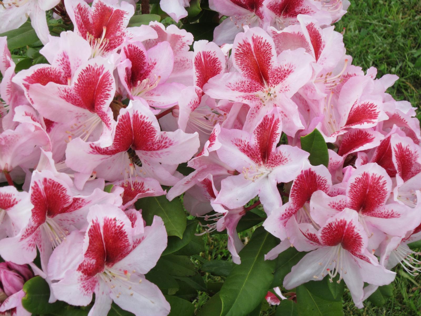 Moja záhrada...ako šiel čas - Rododendron má takúto krásnu farbu...