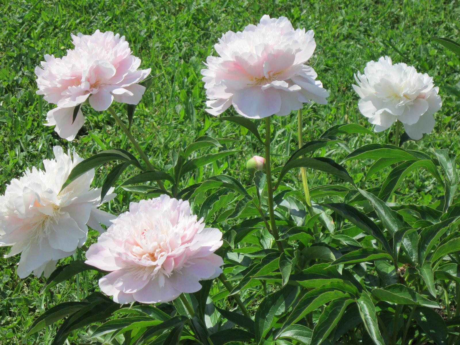 Moja záhrada...ako šiel čas - Už aj mne kvitnú...