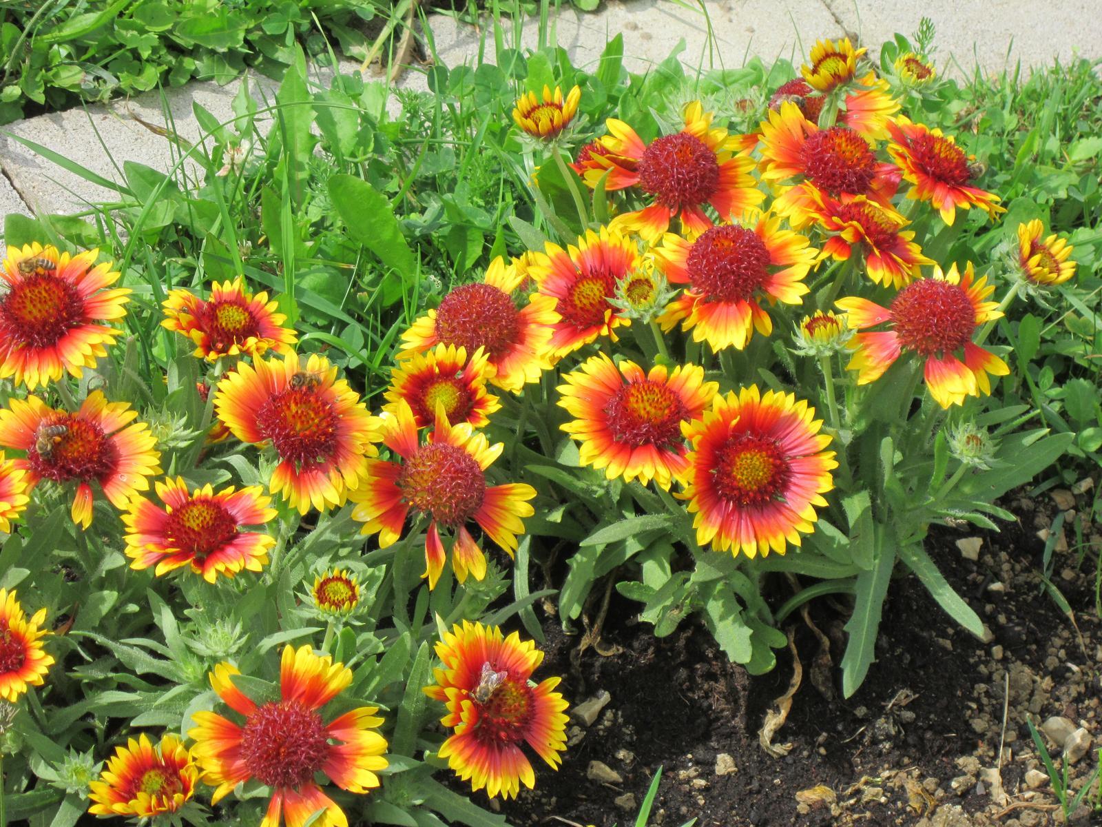Moja záhrada...ako šiel čas - Kokardy dokážu spestriť každú záhradu celé leto...