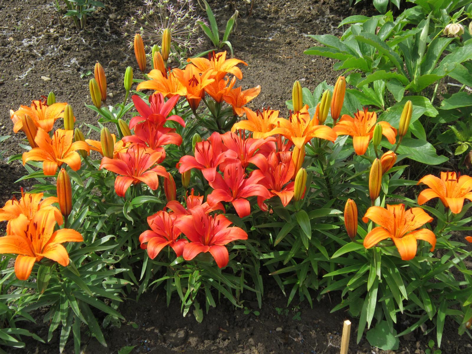 Moja záhrada...ako šiel čas - Ľalie terasové...