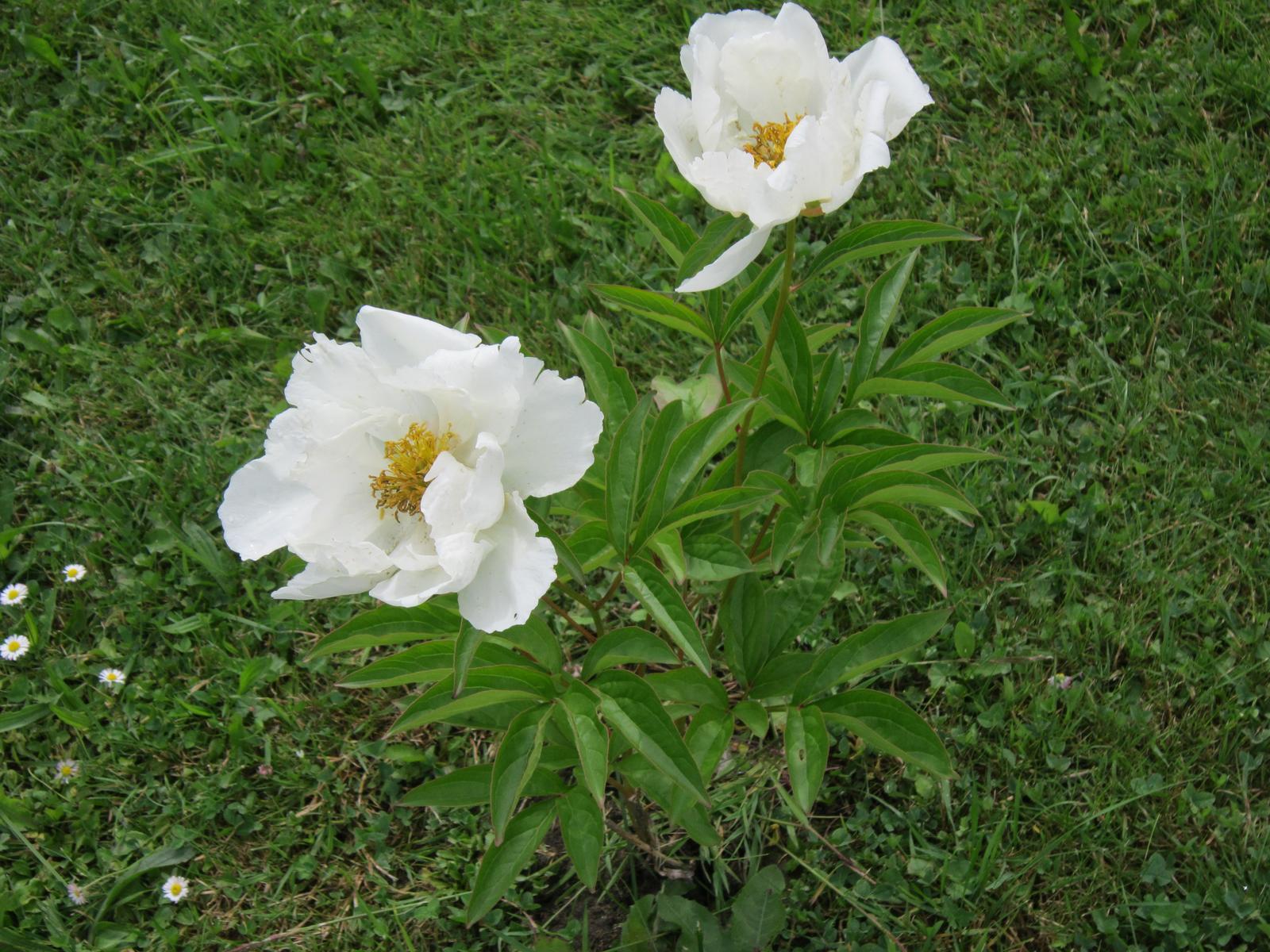 Moja záhrada...ako šiel čas - Pivonky mi ešte stále kvitnú...