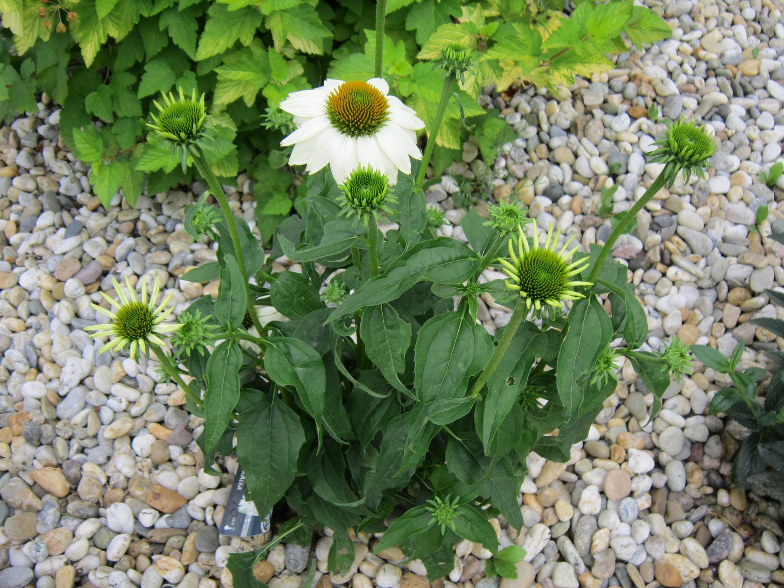 Moja záhrada...ako šiel čas - Biela echinacea...mám z nej radosť...