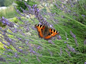 Plná záhrada motýľov...
