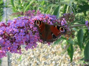 Nakoniec sa mi to podarilo a motýľ zapózoval...