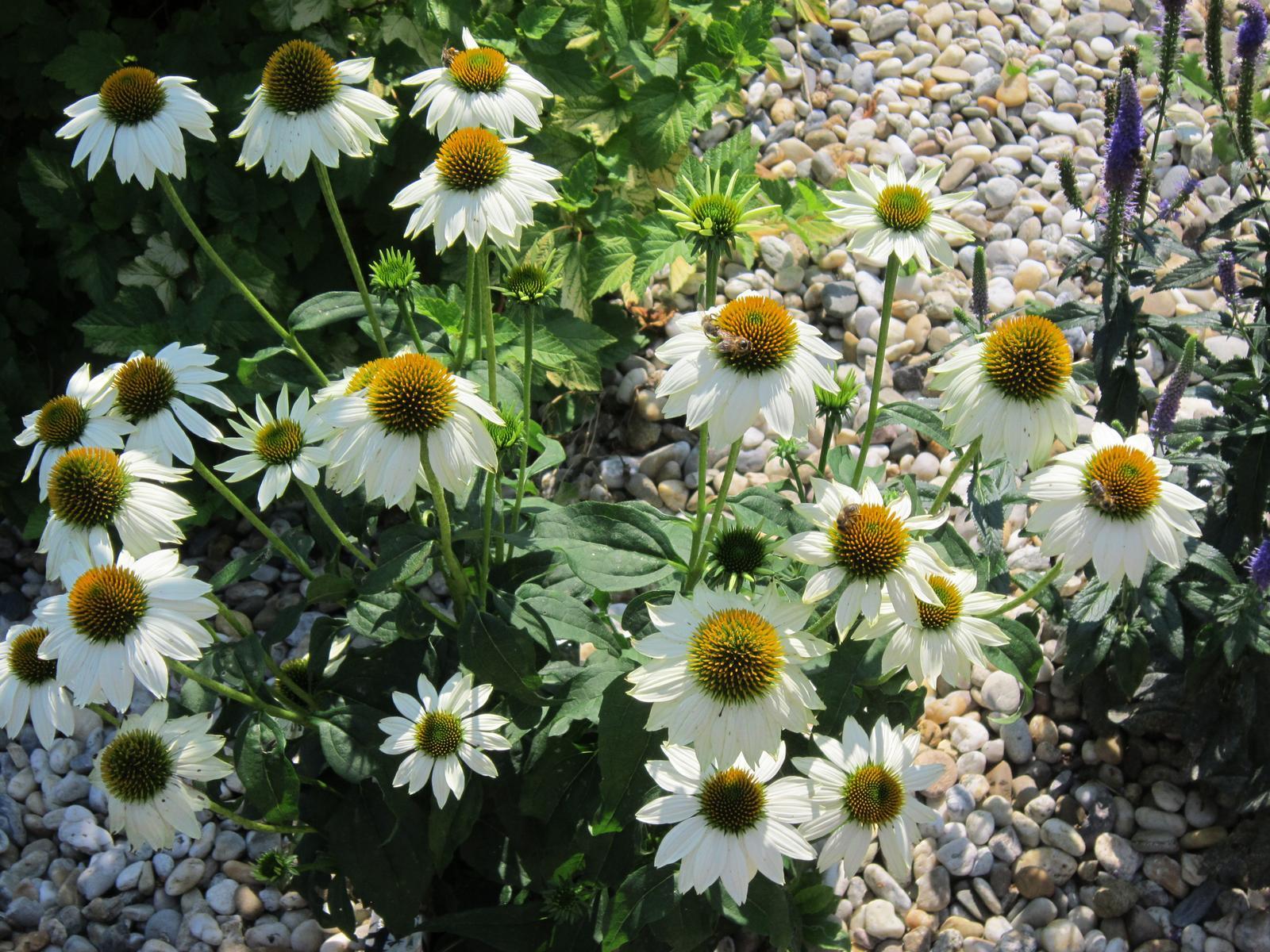 Moja záhrada...ako šiel čas - Biela echinacea stále kvitne