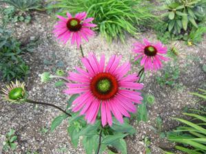 Echinacea má nádhernú ružovú farbu