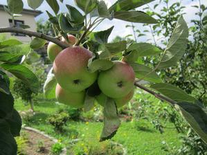 Budú aj jabĺčka...