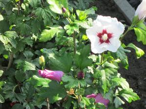 Dvojfarebný ibištek...kvitne biely