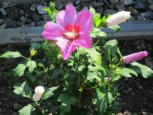 Dvojfarebný ibištek...tu kvitne fialový