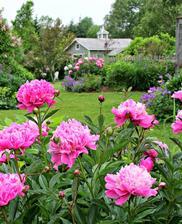 Pivonky skrášlia každú záhradu