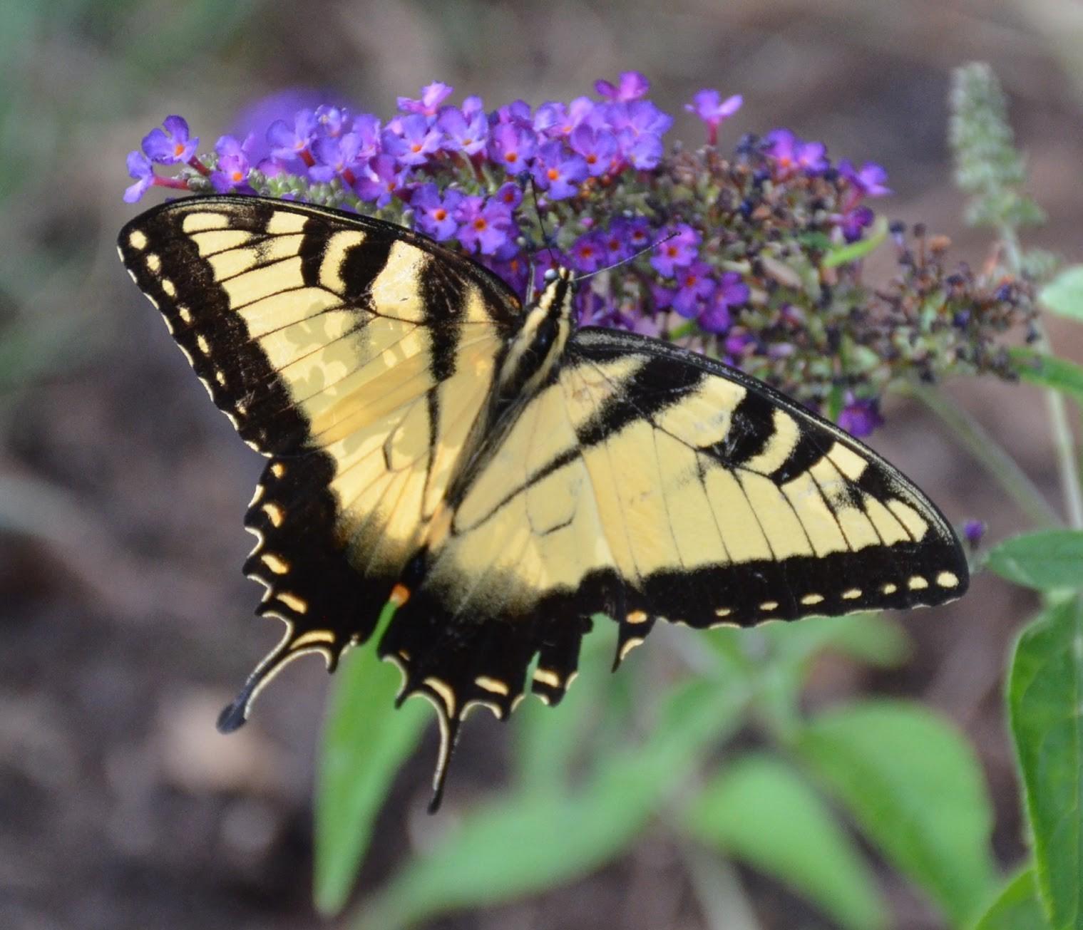 Záhrada,ktorá ťa nikdy neomrzí...divoká a krásna - Motýlí ker vždy priláka aj takýchto krásavcov...